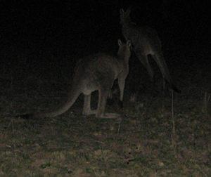 Scaring the kangaroos while running after dark